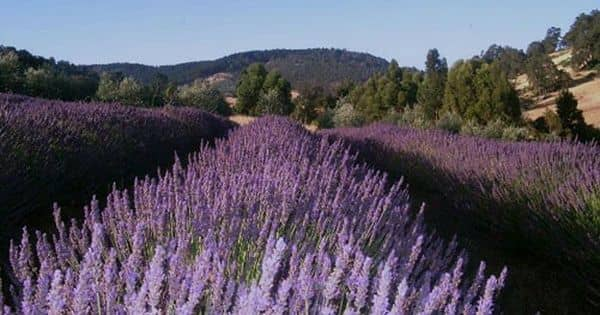 Experience the dreamy scent of lavender at Balingup Lavender farm